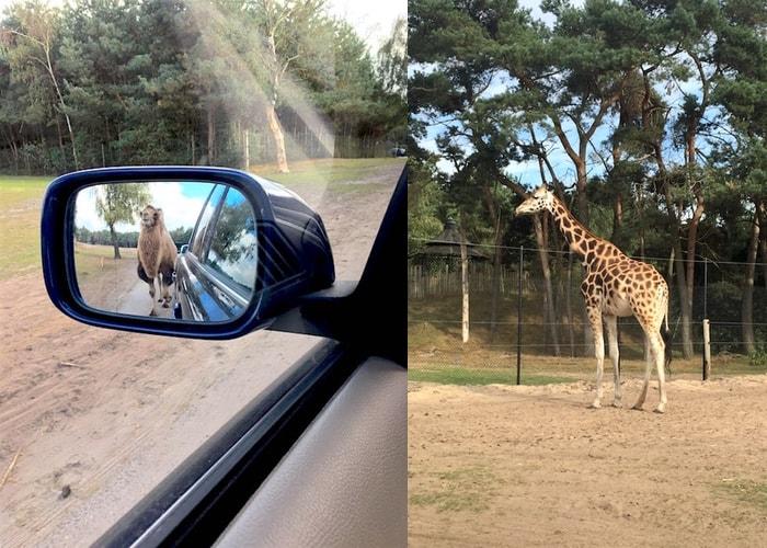 Safaripark Beekse Bergen kameel giraffen autosafari