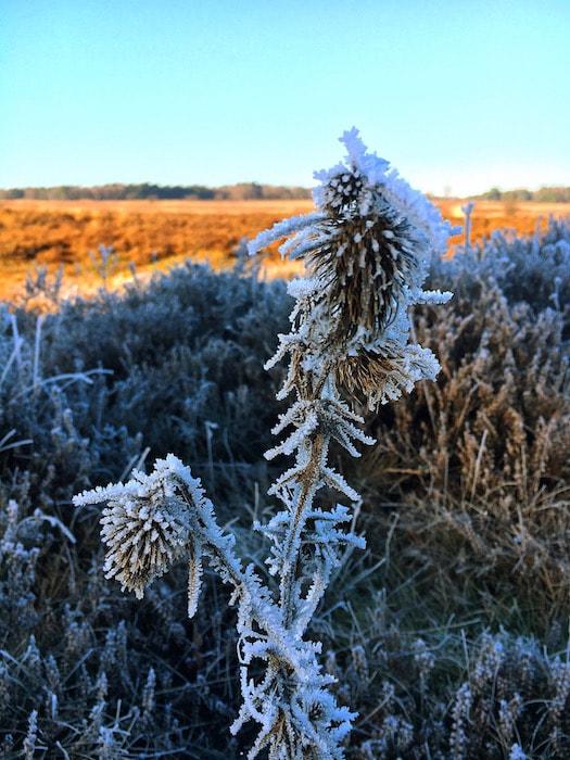 Bevroren plantje op de hei